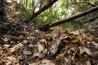 Cached deer carcass at puma kill site