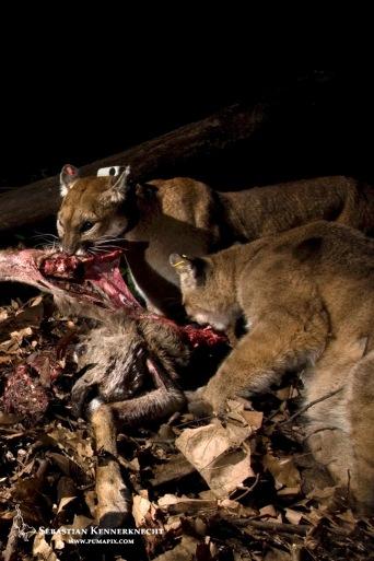 Female puma and kitten feeding
